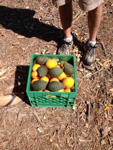 oranges-and-some-avocados